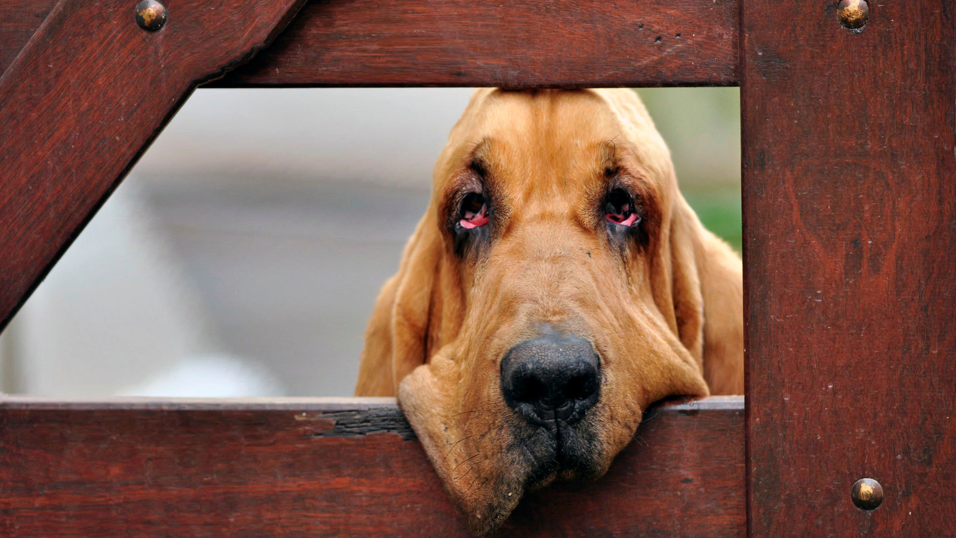 download Bloodhound became sad wallpapers and images 1920x1080