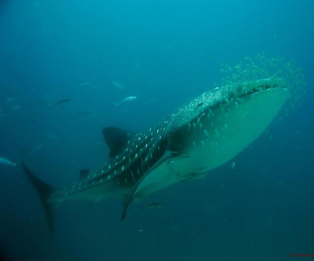 ocean fish whale shark 2592x1944 wallpaper Wallpaper 960x800 www 640x533