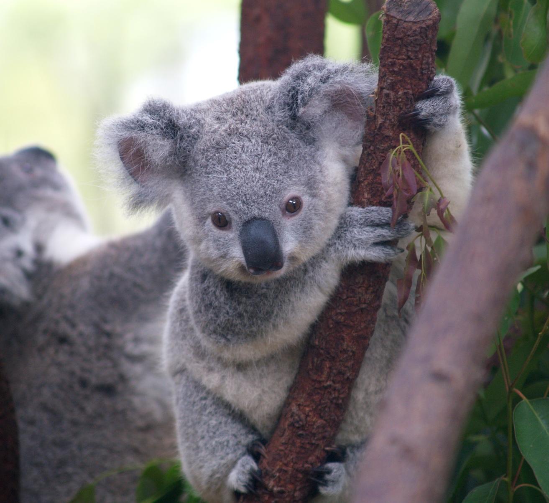 Baby Koala Wallpaper HD Wallpaper 1313x1204
