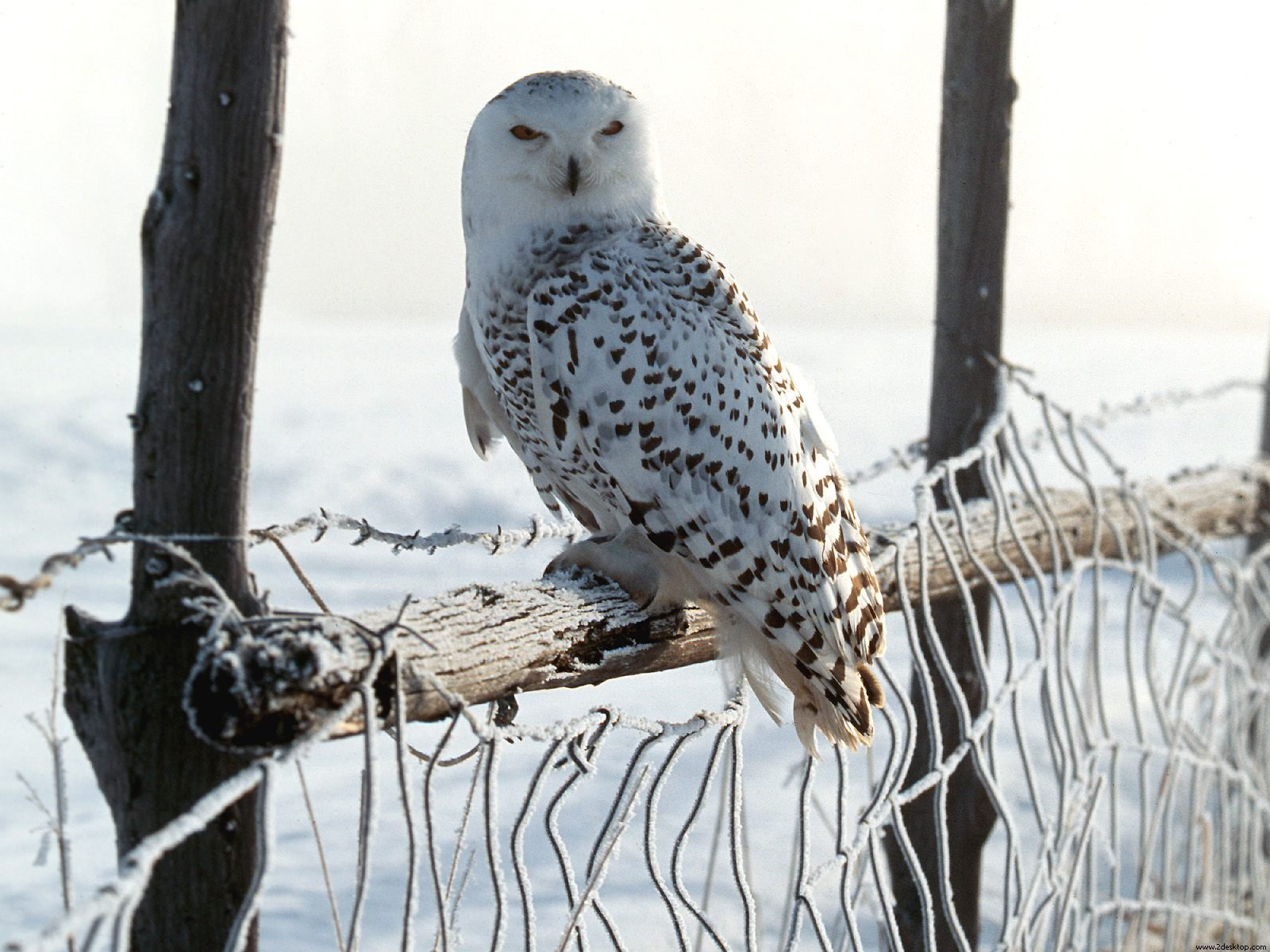 White Winter Owl Wallpapers HD Wallpapers 1600x1200
