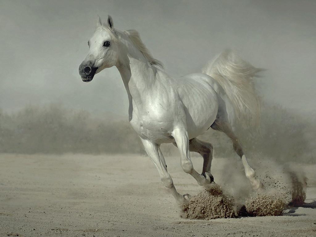 Running Horse Wallpapers White Horses Running Wallpapers for Desktop 1024x768