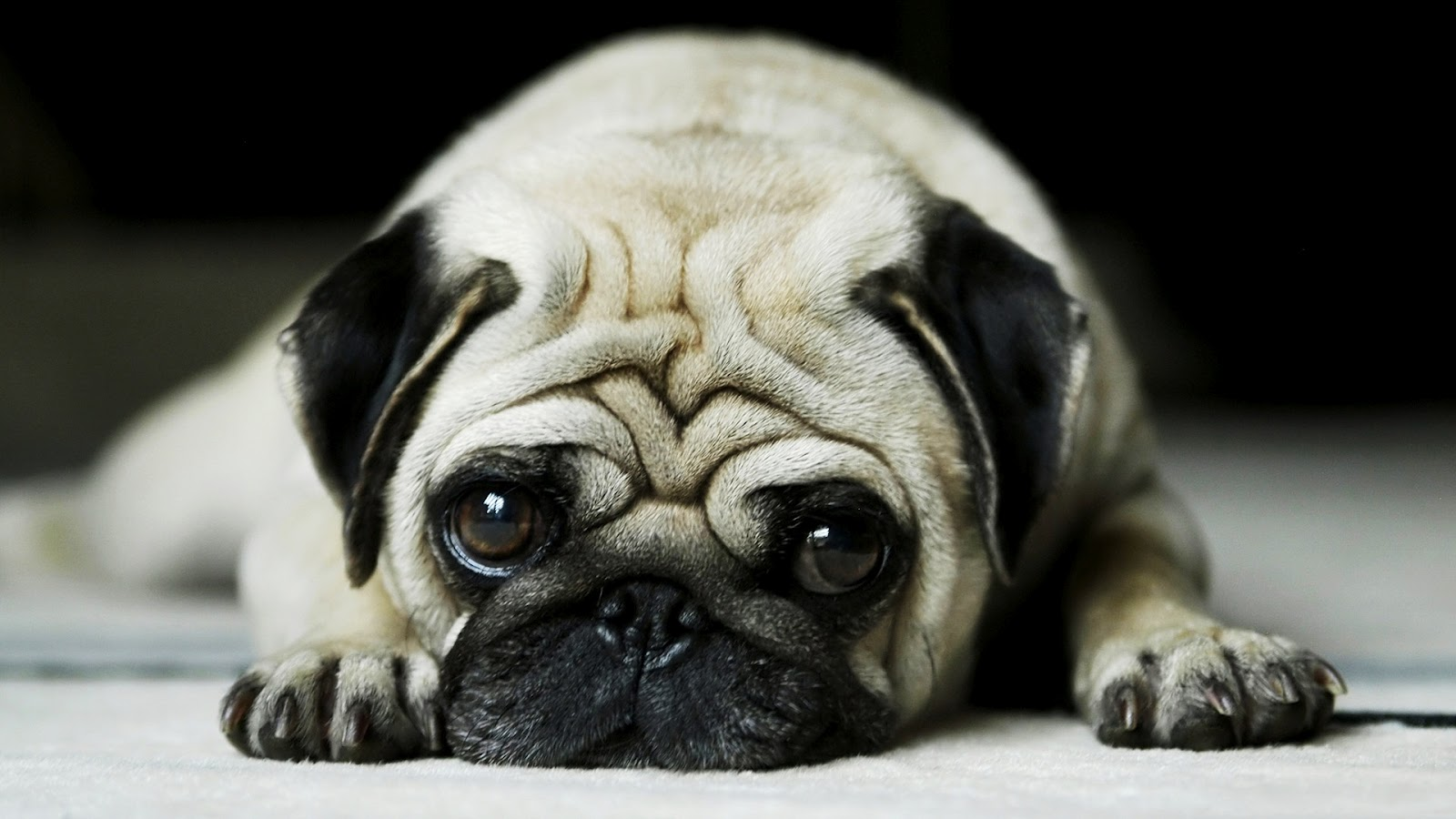 All Wallpapers Pug Dog Hd Wallpapers 1600x900
