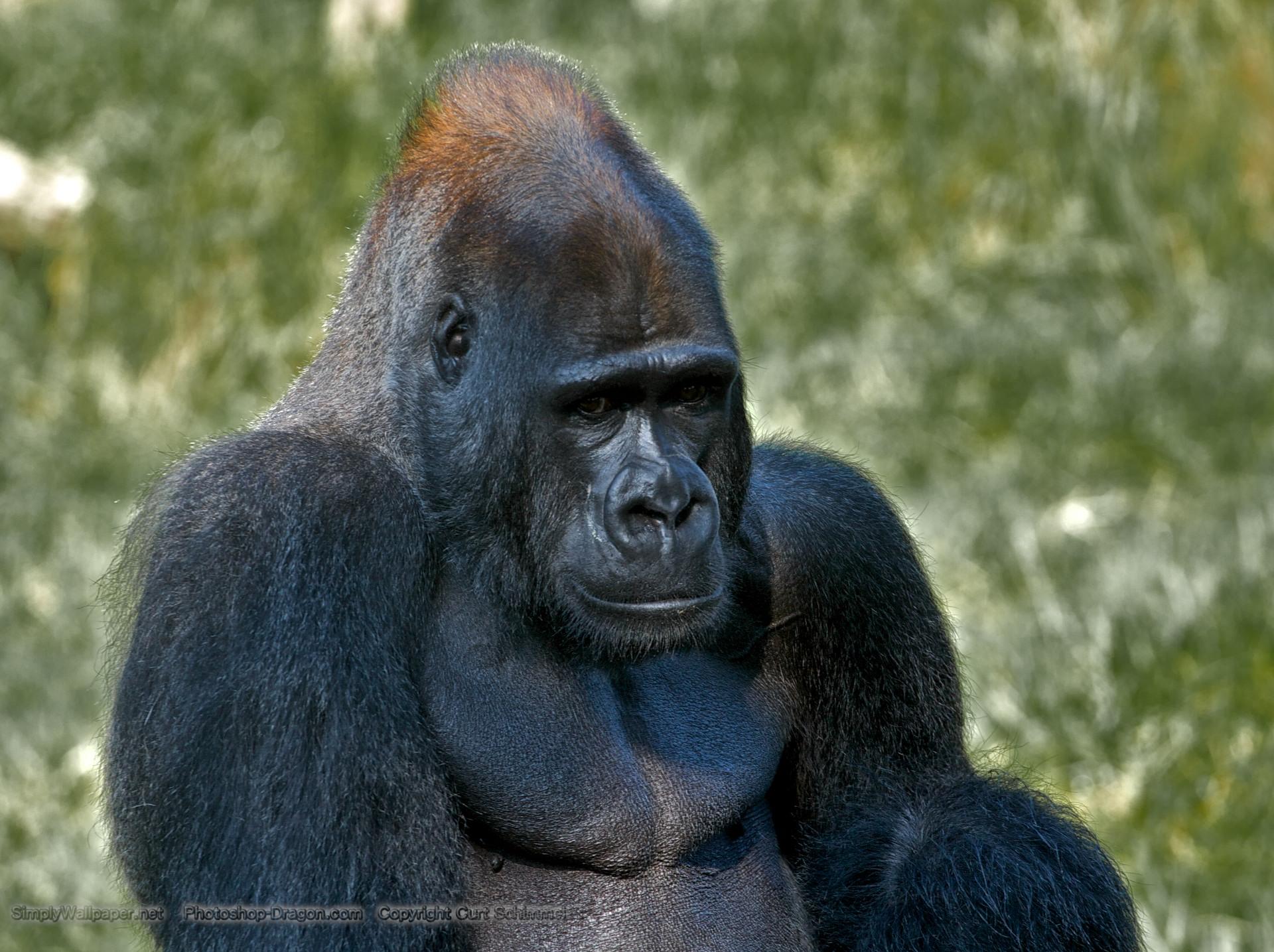 Gorilla wallpaper   Click picture for high resolution HD wallpaper 1920x1435