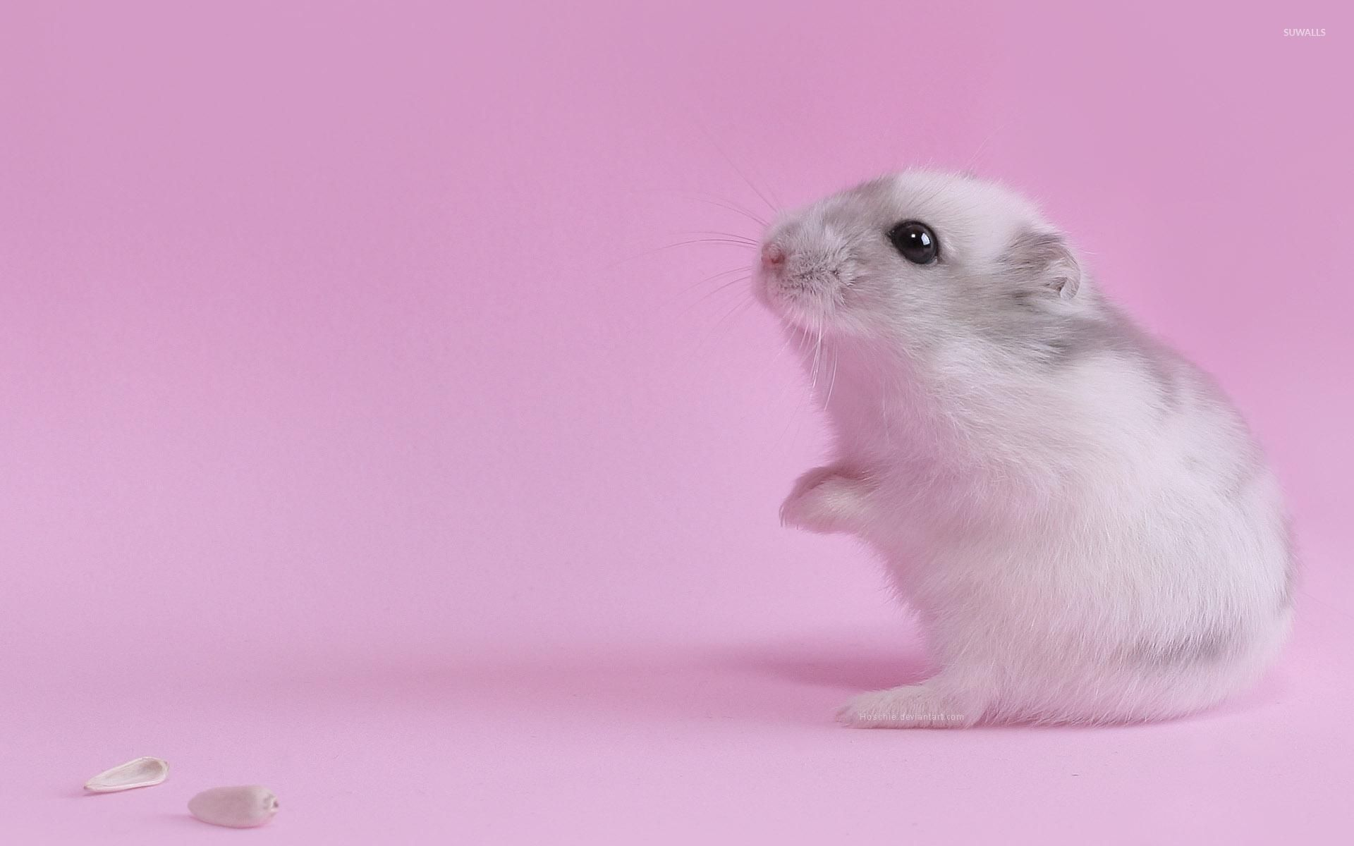 Cute Hamster Background Wallpaper 19999   Baltana 1920x1200