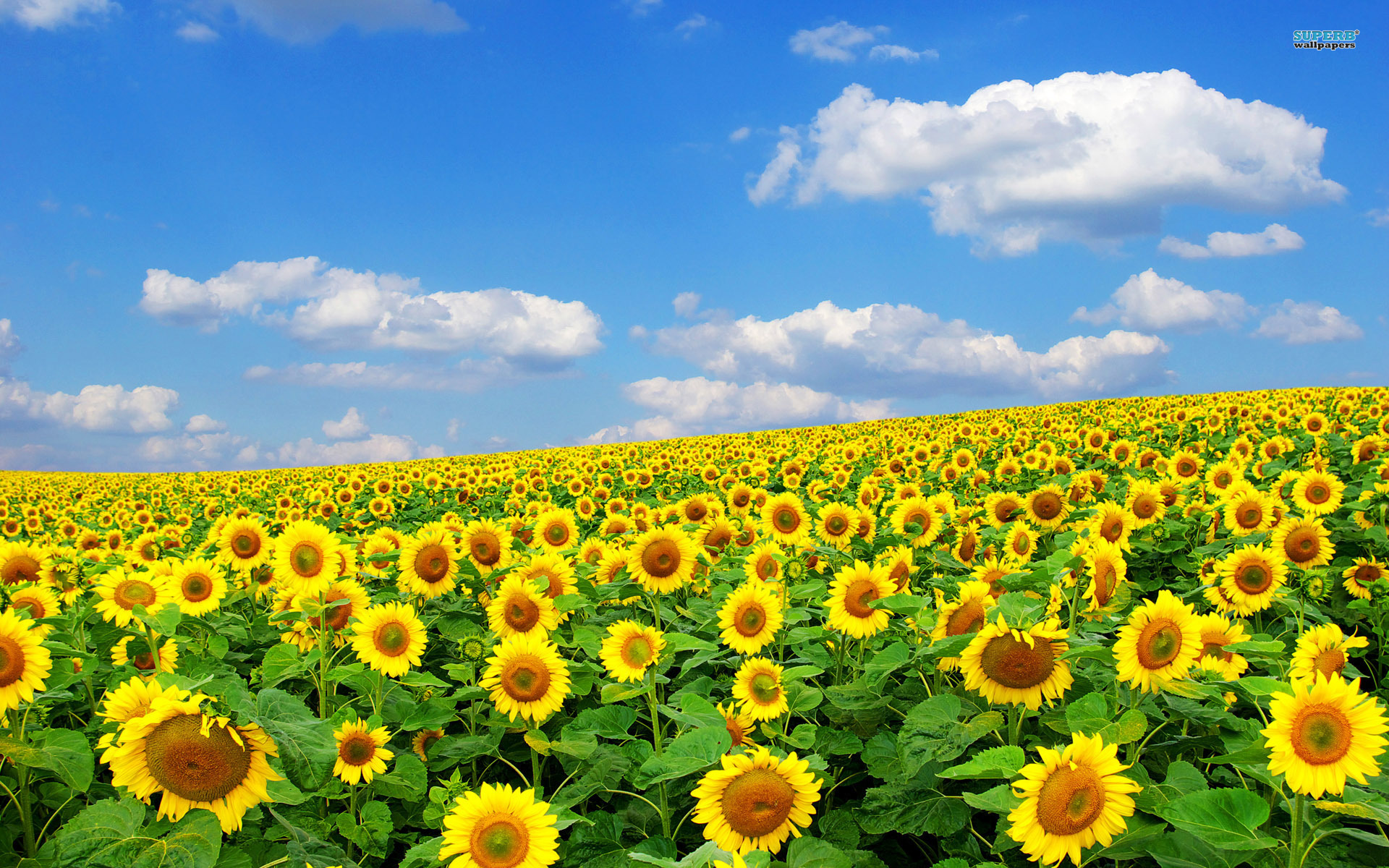 Sunflower Field wallpaper 1920x1200 78430 1920x1200