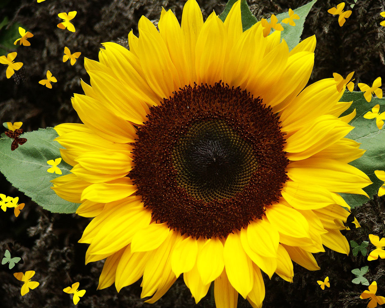 as the flowers of a sunflower track the sun they are exhibiting Why sunflower heads follow the sun before the fruit of the sunflowers is produced sunflower heads track the sun then they brought the flowers.