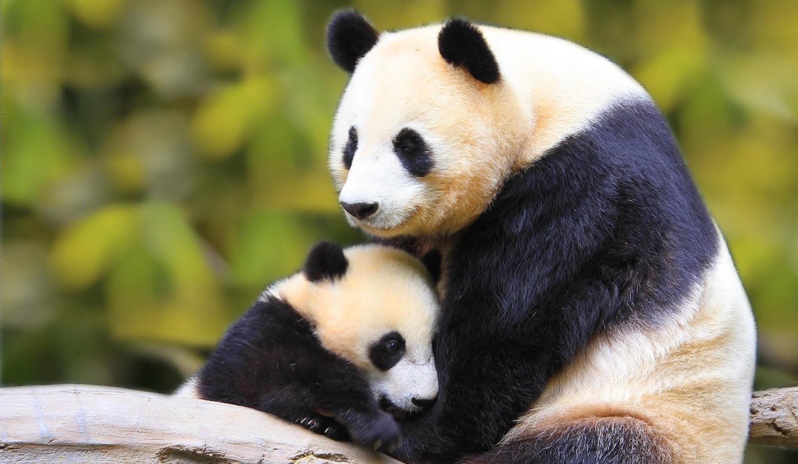 Panda Full HD Wallpapers Panda Wallpapers Panda HD Desktop 1600x931