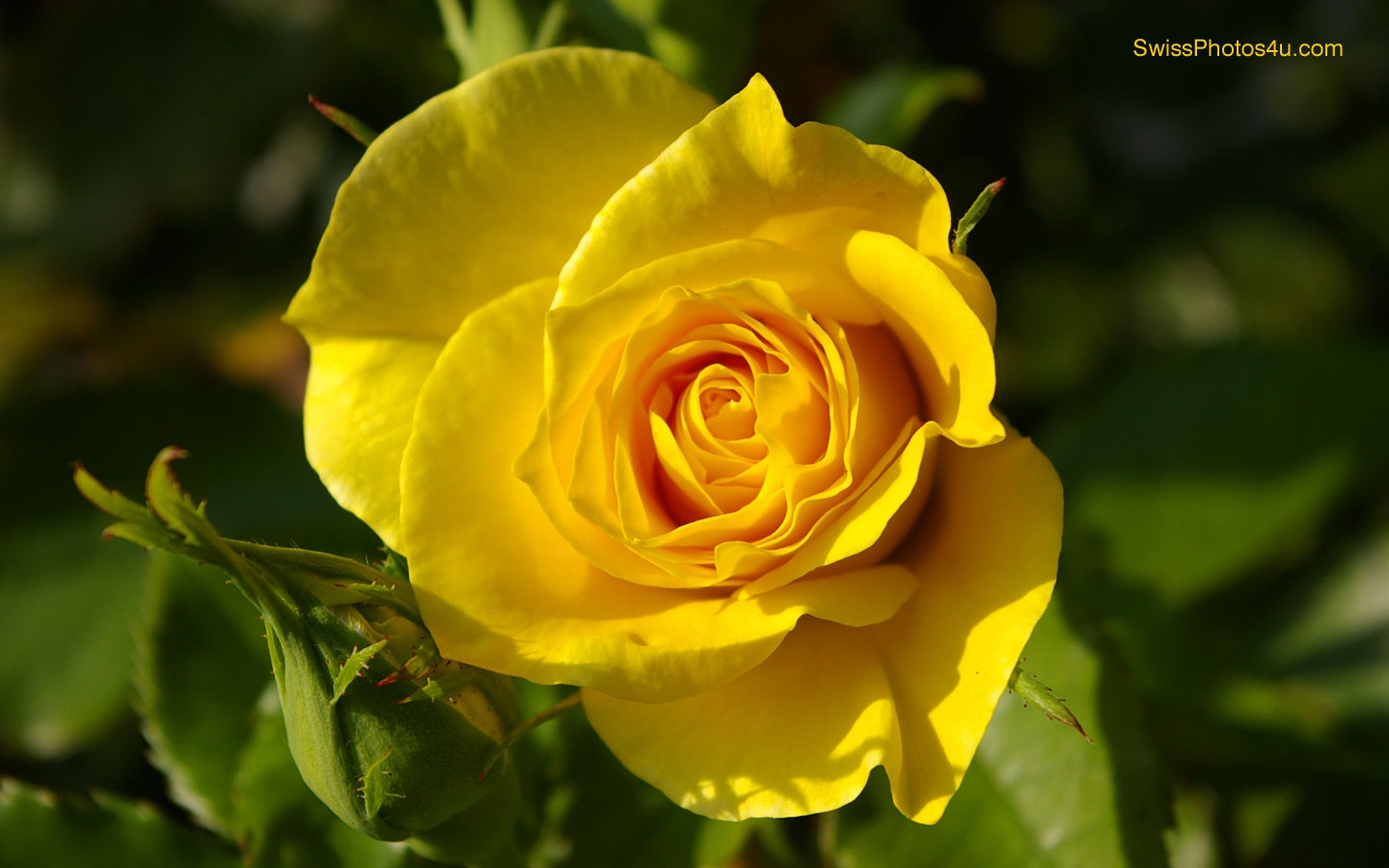 """the yellow wallpaper and a rose Freebooksummarycom ✅ the protagonists in both """"a rose for emily"""" by william  faulkner and in """"the yellow wallpaper"""" by charlotte perkins gilman."""