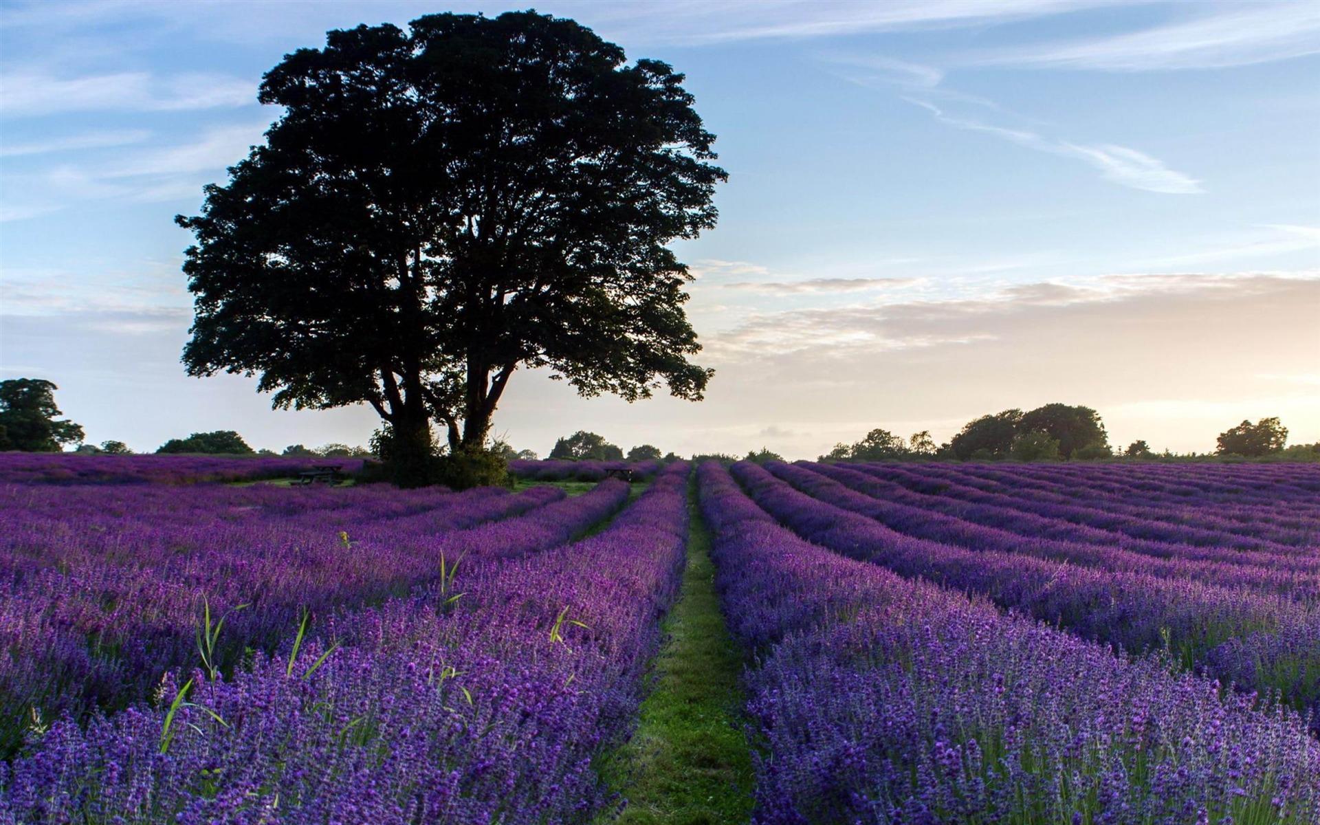 Flowers Landscape Others Lavender Purple Landscape Wallpaper 1920x1200