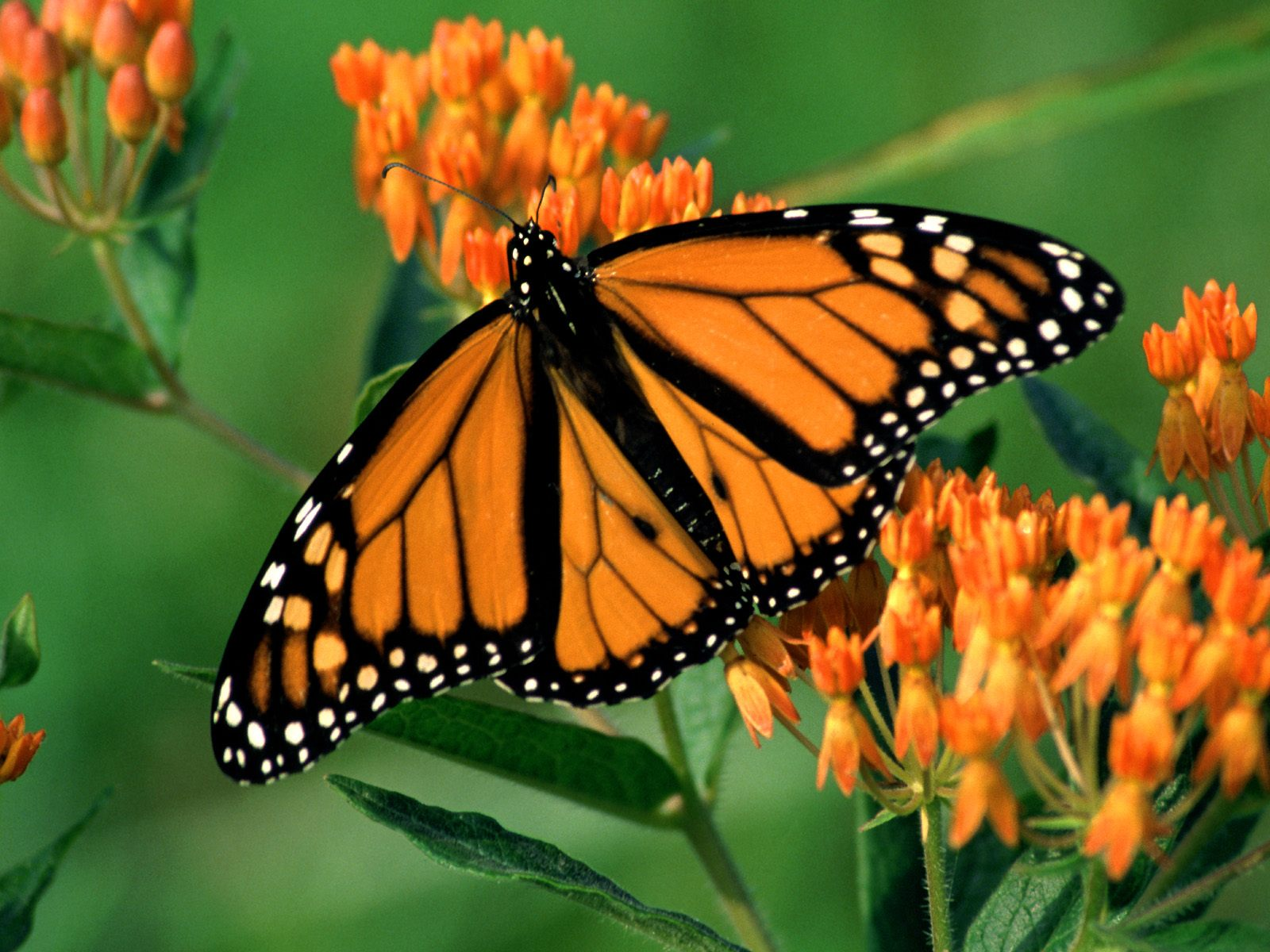 monarch butterfly wallpaper with the title Monarch butterfly wallpaper 1600x1200