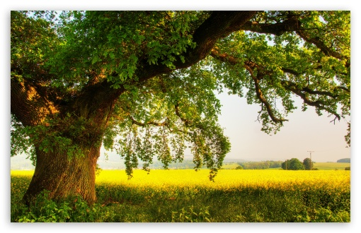 Oak Tree HD wallpaper for Standard 43 54 Fullscreen UXGA XGA SVGA 510x330