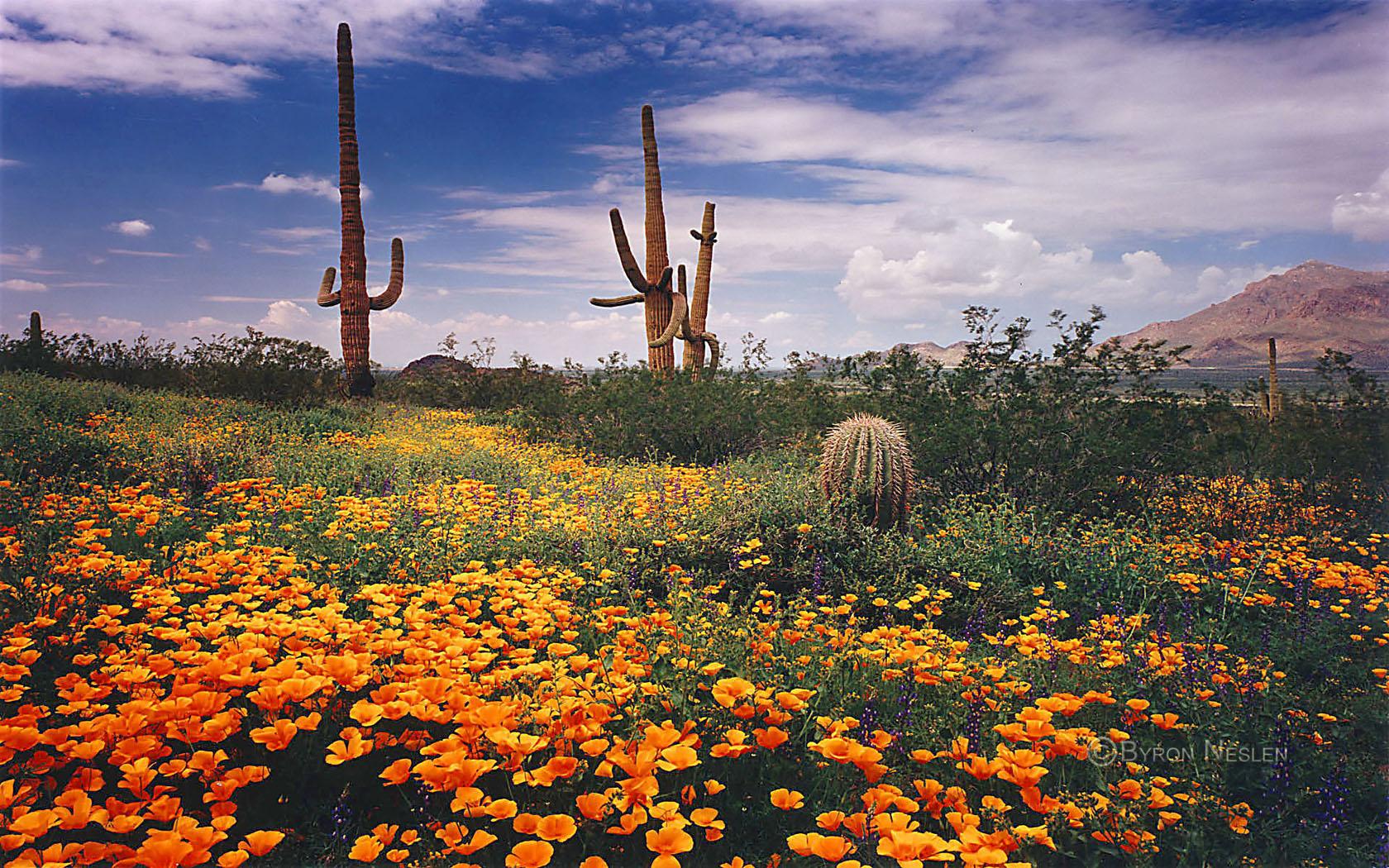 Sonoran Desert Wildflowers 1680x1050