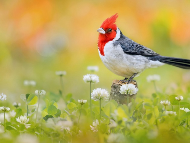 Wallpaper Red crested cardinal   Photos and Walls 630x473