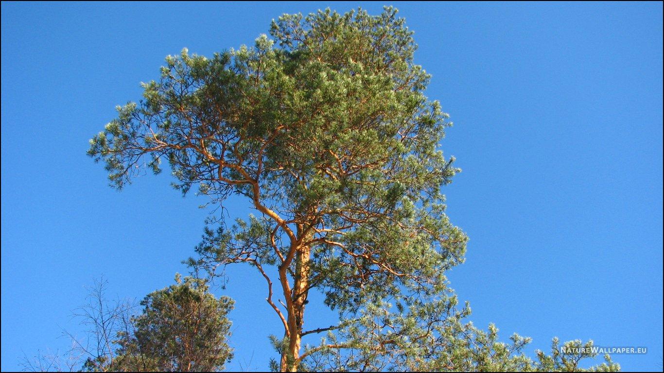pine tree wallpaper wallpapersafari