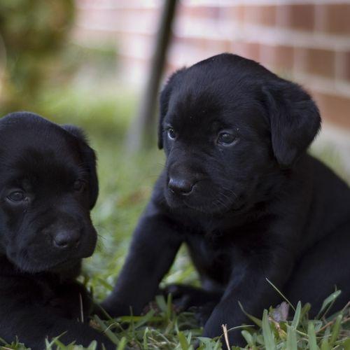 HD Two Black Labrador Puppies Wallpaper 500x500