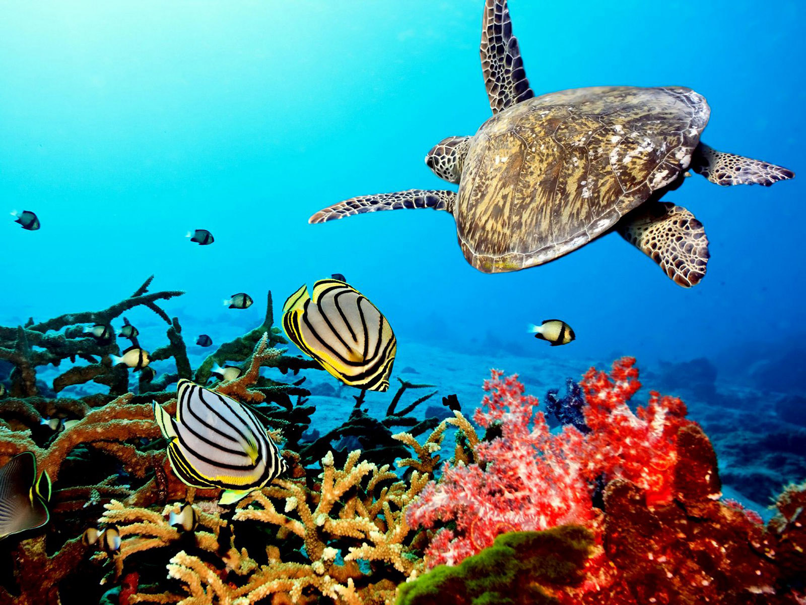 coral reef with sea turtle HD Background Wallpaper 1600x1200