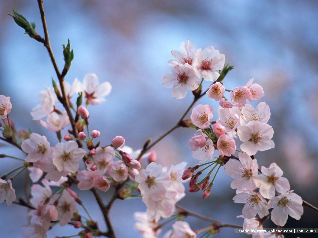 japanese cherry blossom wallpapers wallpapersafari. Black Bedroom Furniture Sets. Home Design Ideas
