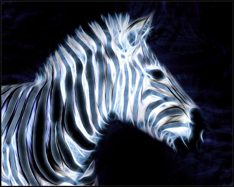 blue Zebra Wallpaper 899x718