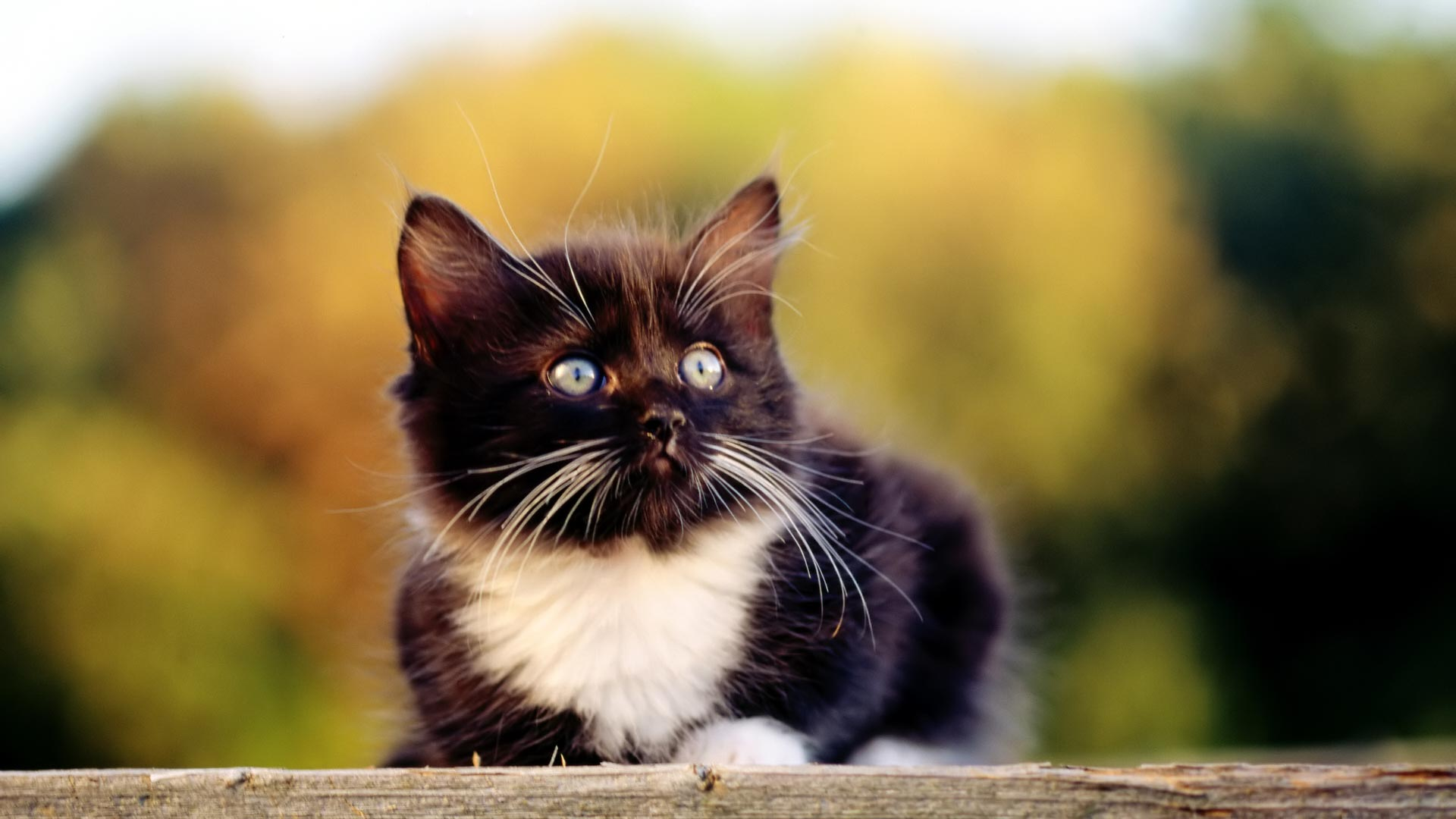 kitten wallpaper widescreen - wallpapersafari