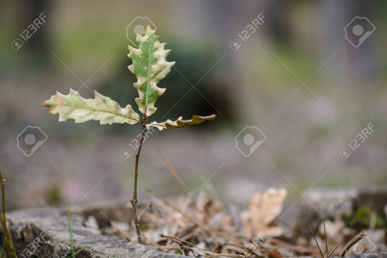 Sapling Of Oak Tree Isolated On Blurry Background Stock Photo 1300x866