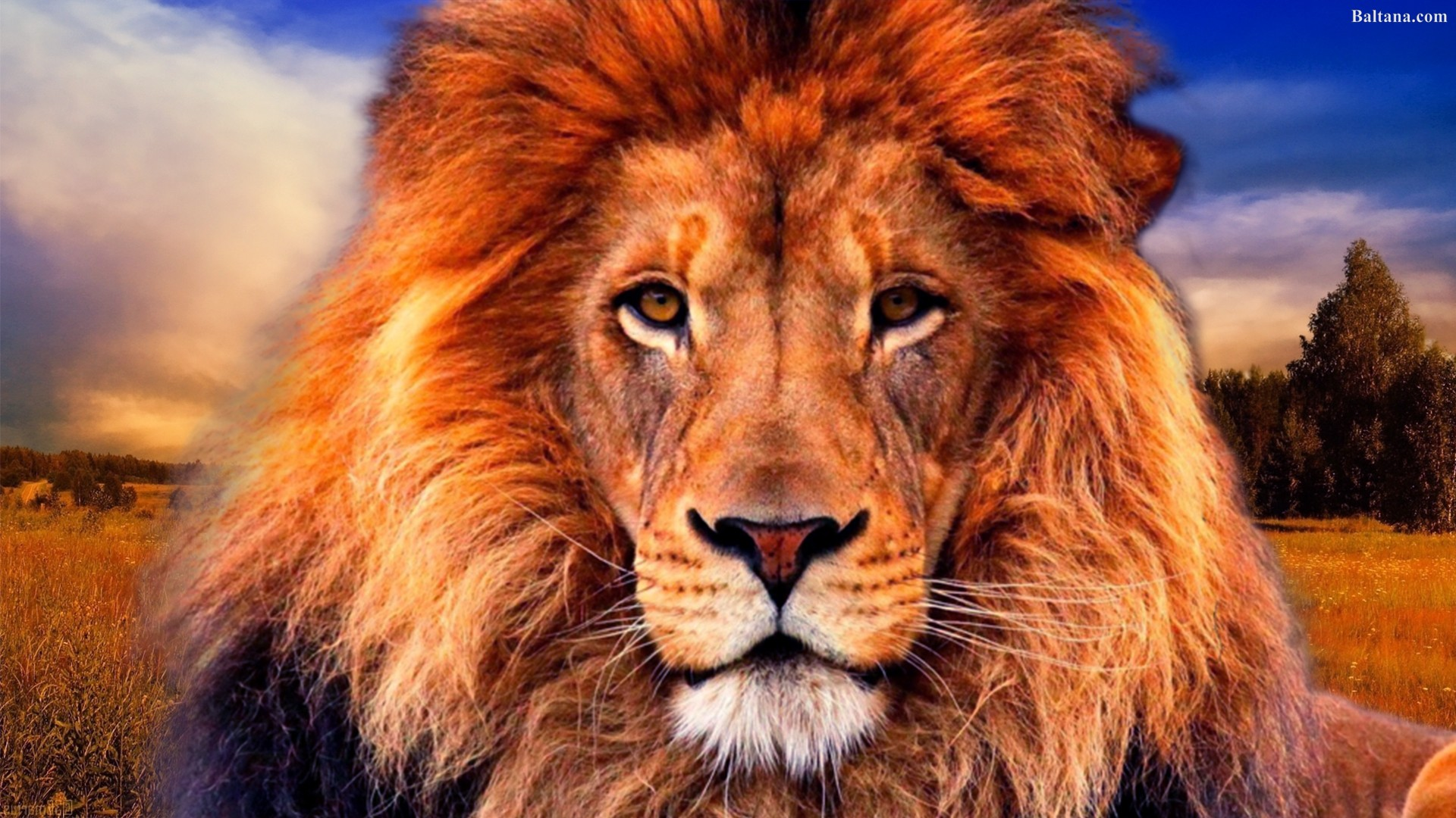 Lion Wallpapers HD Backgrounds Images Pics Photos Download 1920x1080