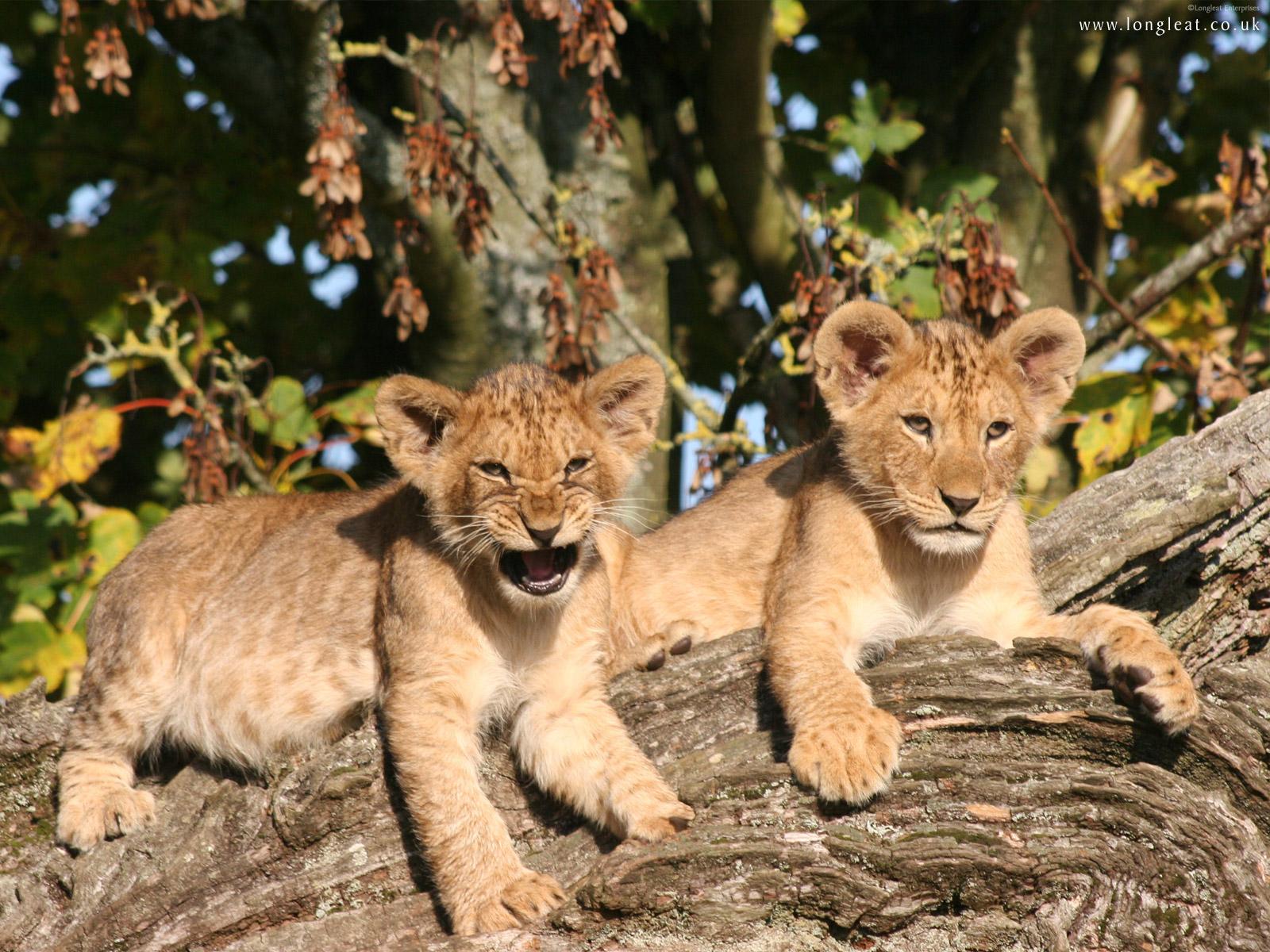 lion cubs wallpaper wallpaper 1600x1200