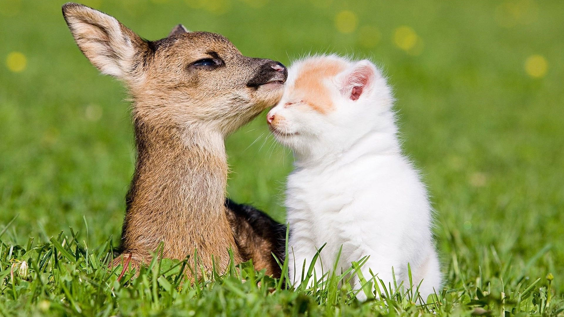 Kitten and baby deer wallpapers and images   wallpapers pictures 1920x1080