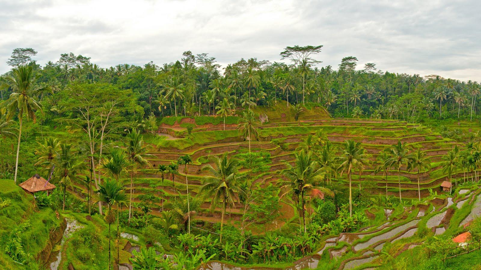 Download Rice Terraces Bali Wallpaper 25601440 pixels 1600x900