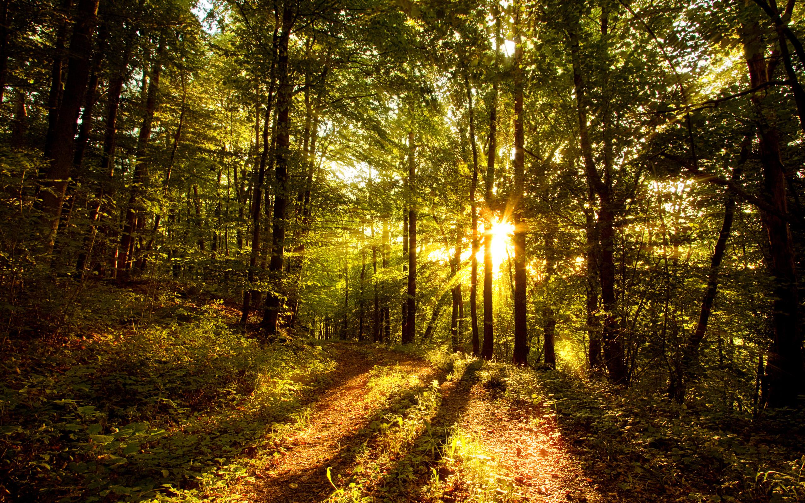Обои для рабочего стола восход солнца в лесу