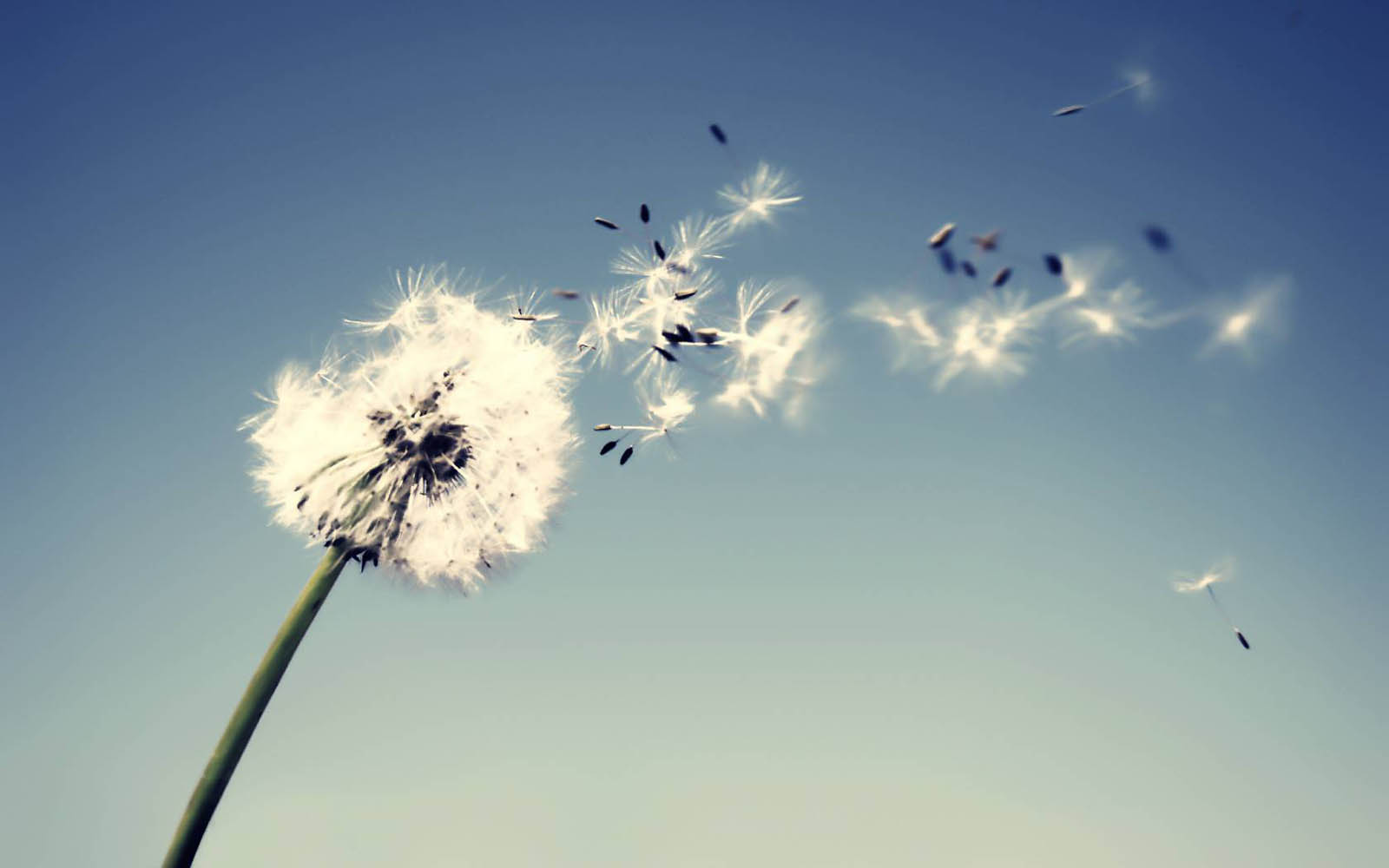 Tag Dandelion Flowers Wallpapers BackgroundsPhotos Images and 1600x1000