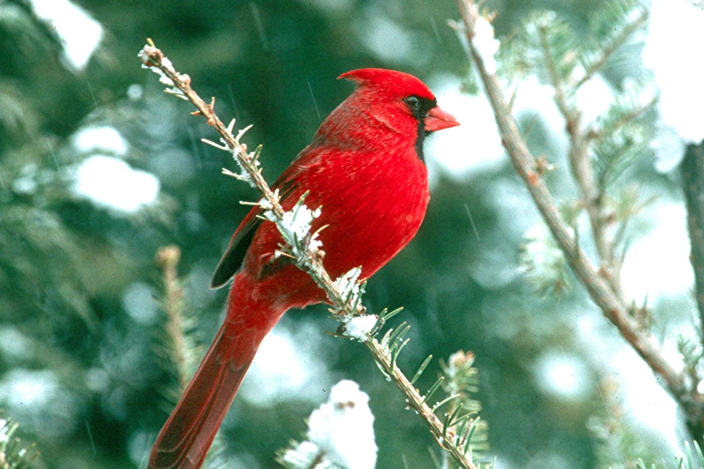 Bird Directory Northern Cardinal of Christmas 1500x1000