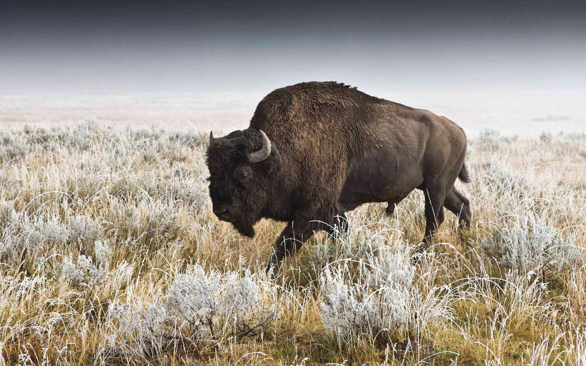 buffalo desktop wallpapers Desktop Backgrounds for HD Wallpaper 1920x1200