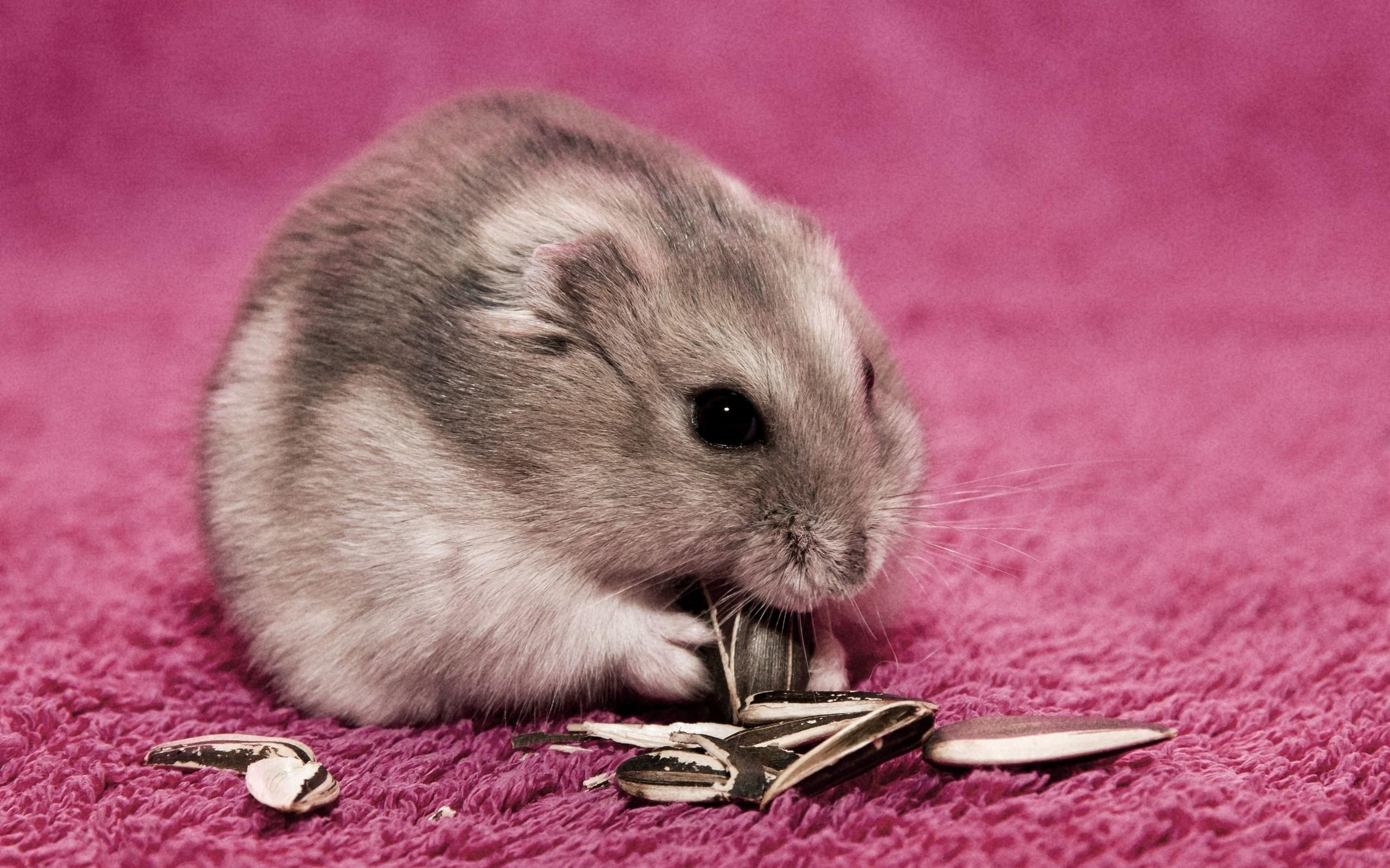 hamster   145793   High Quality and Resolution Wallpapers on 2560x1600