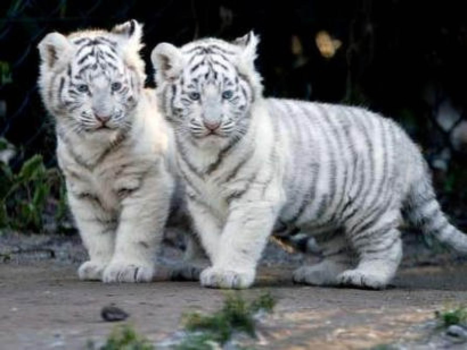 Baby White Tigers Wallpapers 2013 Wallpaper 1600x1200