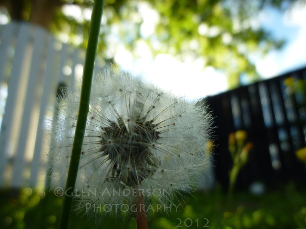 HD Quality Wallpaper   Dandelion by NRK 2K 1032x774