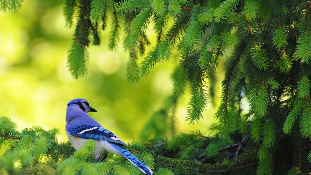 Blue Jay Passerine Bird HD Wallpaper   Stylish HD Wallpapers   Stylish 1024x578