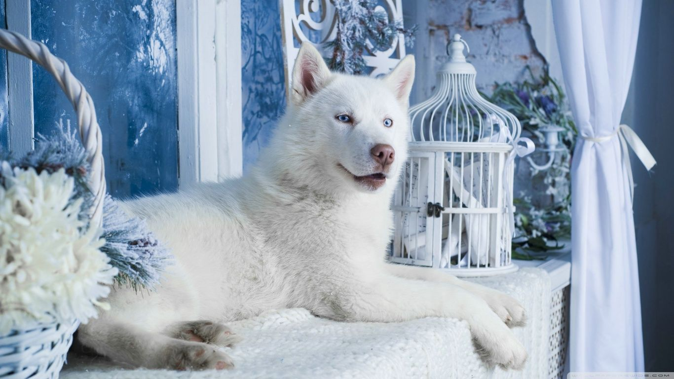 White Husky Wallpapers   Top White Husky Backgrounds 1366x768