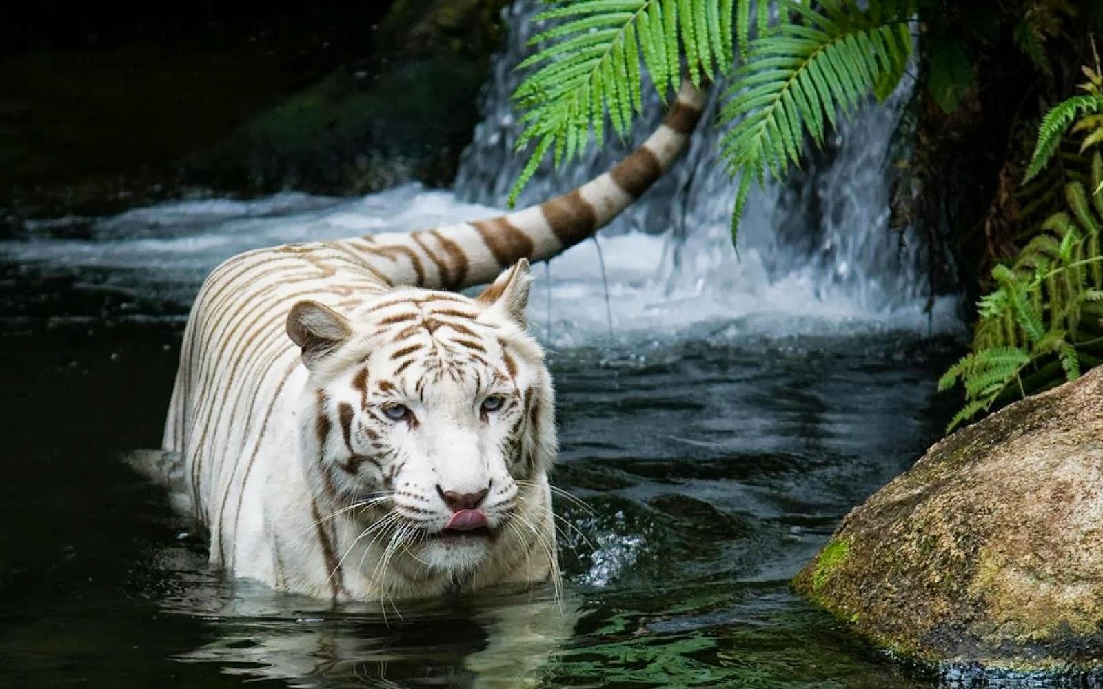 white tiger desktop wallpapers white tiger desktop backgrounds white 1600x1000