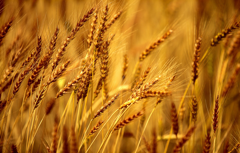 Wallpaper wheat field macro background Wallpaper rye 1332x850