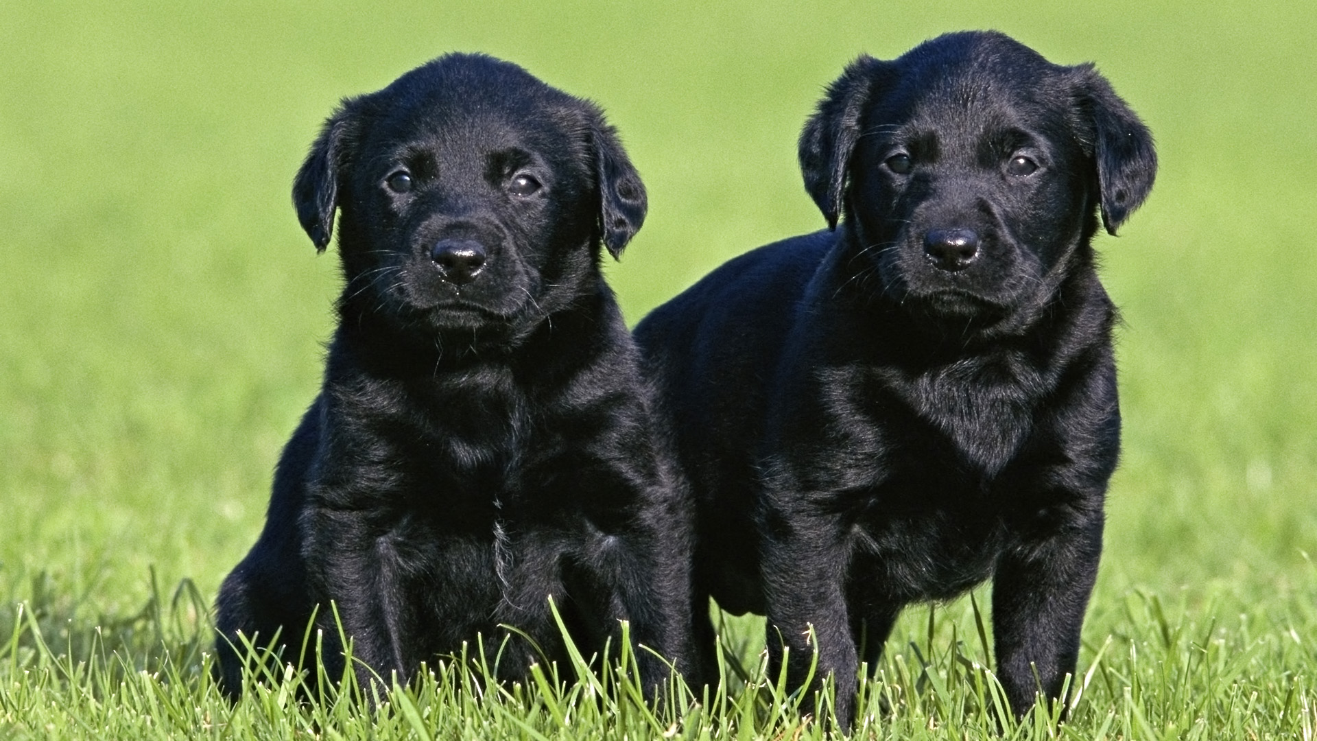 Black Labrador Puppies wallpaper 216440 1920x1080