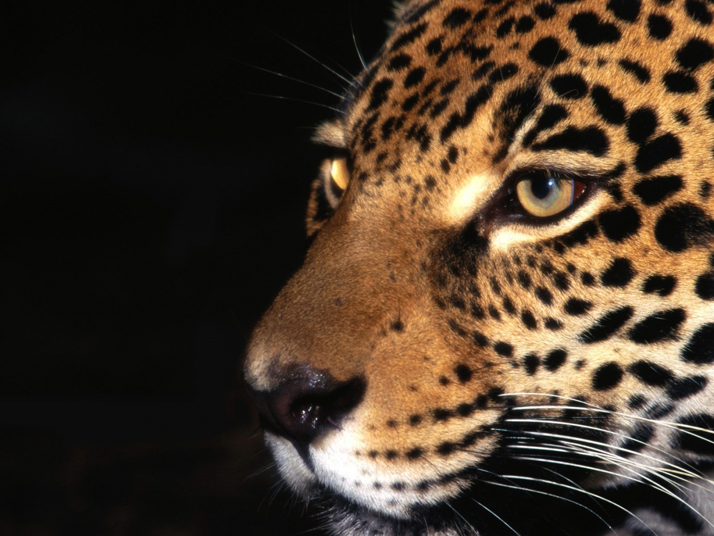Jaguar Animal Wallpapers   1400x1050   436037 1400x1050