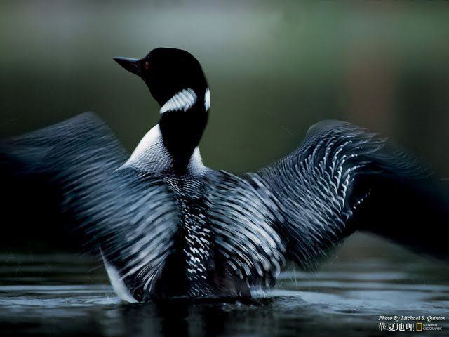 Loon wallpaper for computer wallpapersafari - National geographic wild wallpapers ...