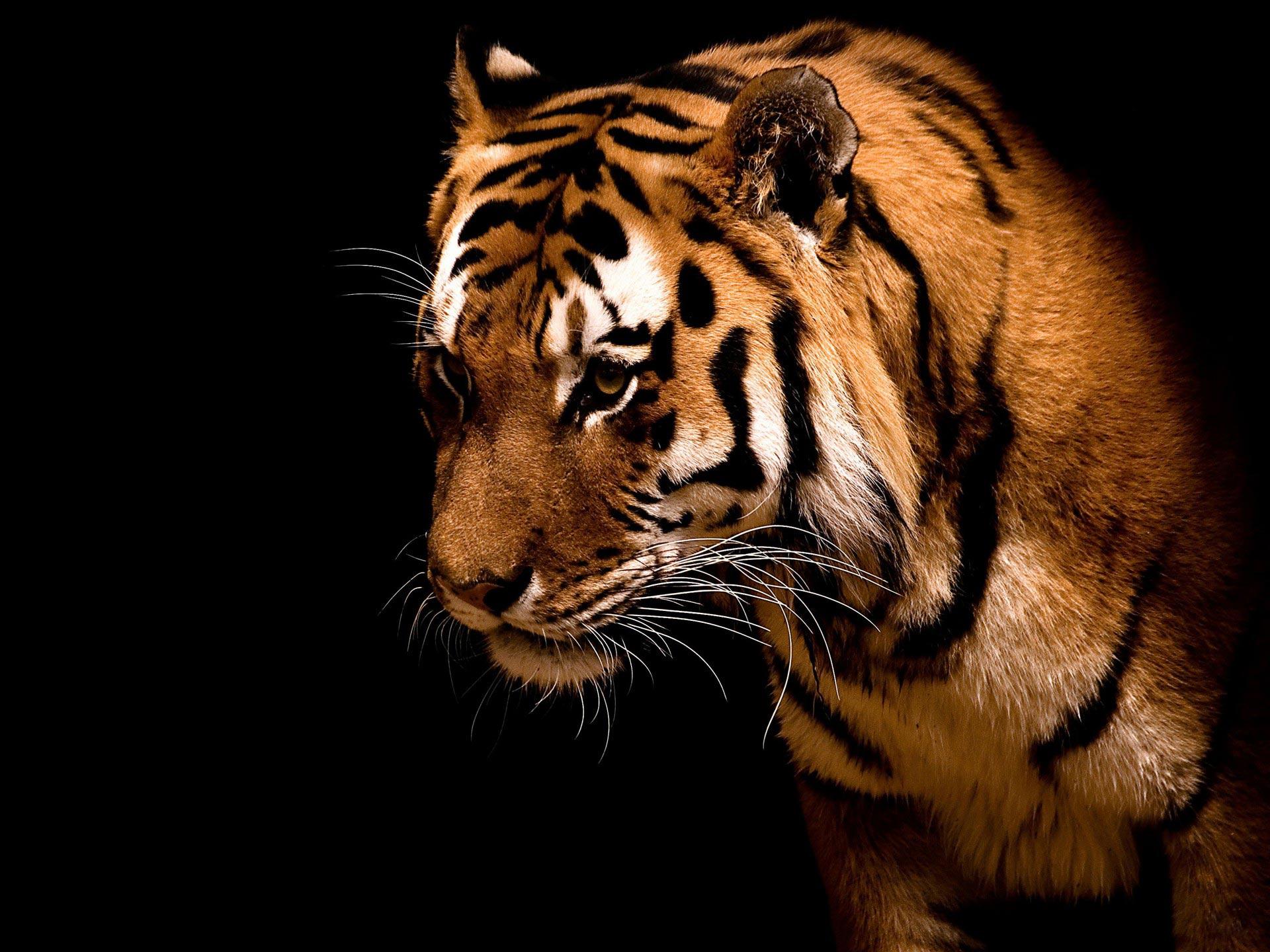 Tiger Big cat hd Wallpaper High Quality WallpapersWallpaper Desktop 1920x1440