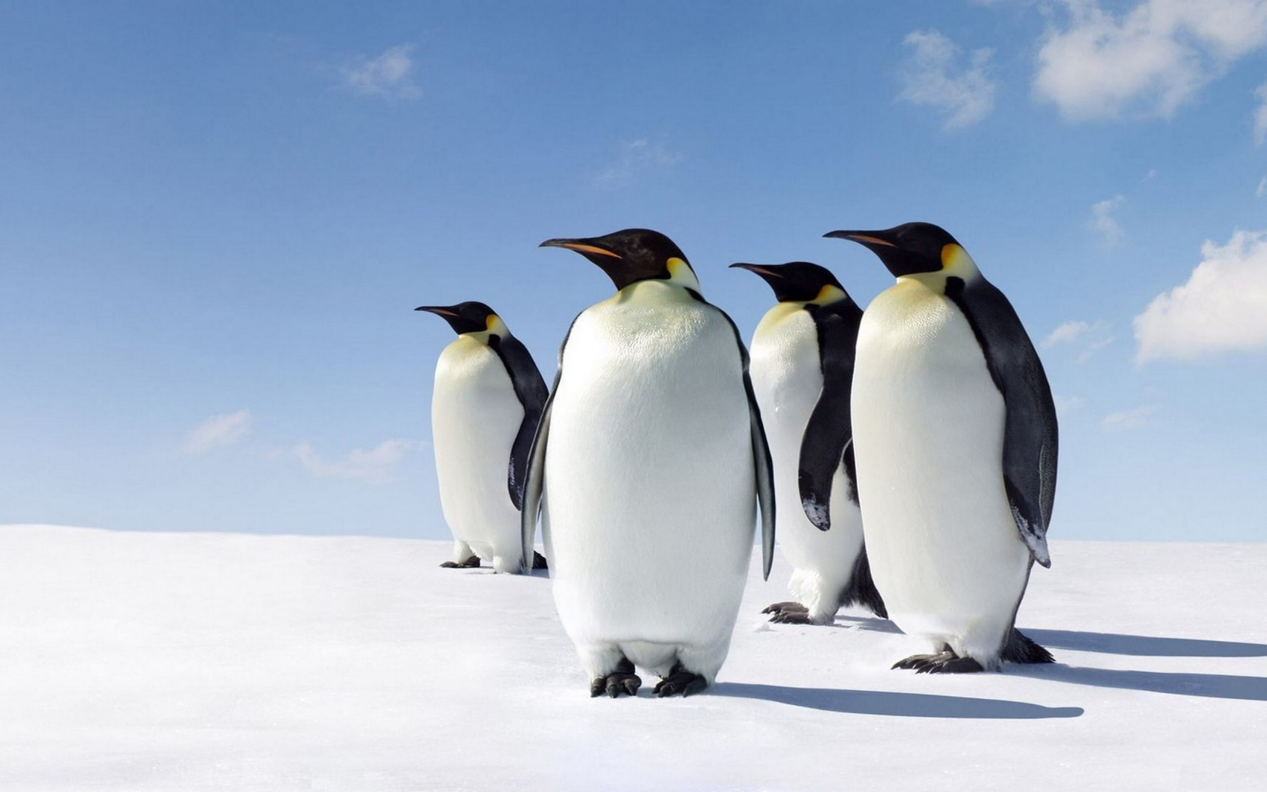 Cute Penguins Wallpaper HD Download For Desktop amp Mobile 2560x1600