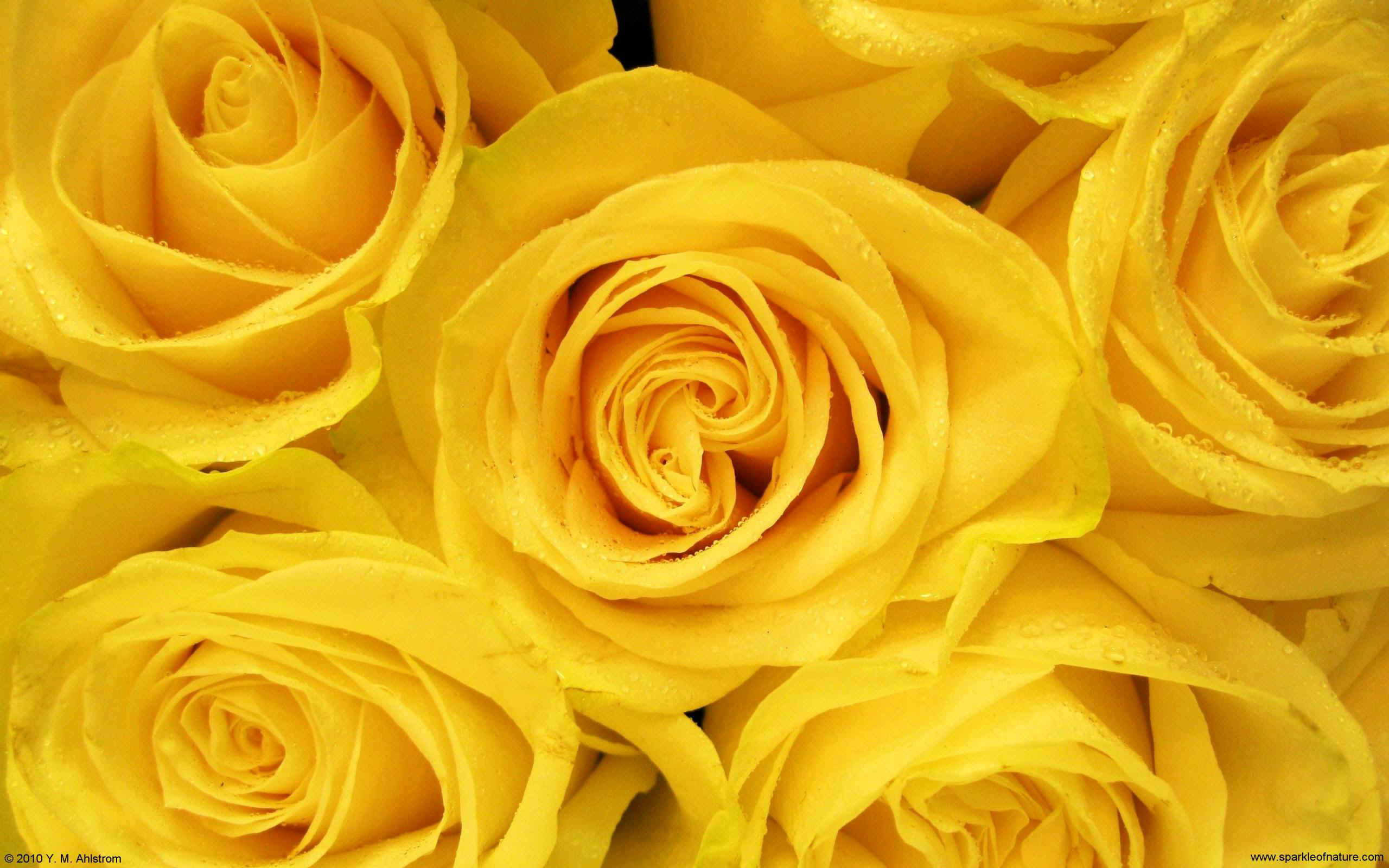 Desktop Yellow Aesthetic Rose Wallpapers Pictures Www Picturesboss Com