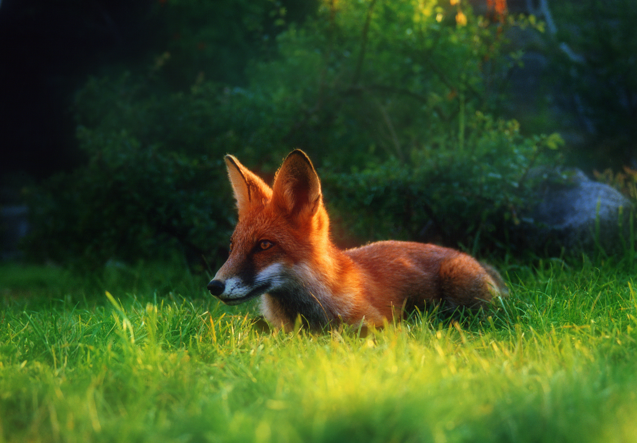 Red fox on hunting wallpapers and images - wallpapers, pictures ...