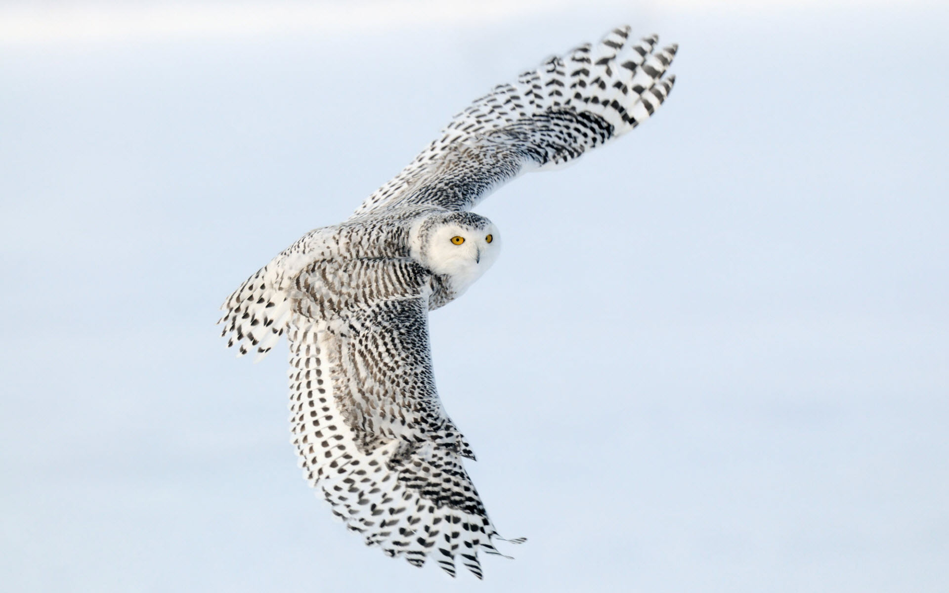 Snowy Owl Wallpapers HD Wallpapers 1920x1200