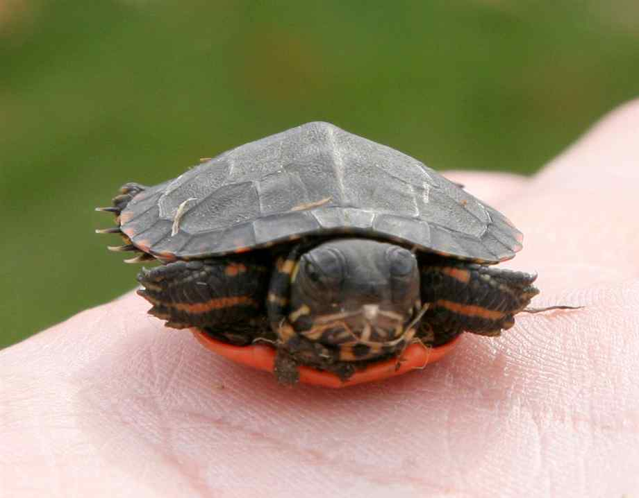 Painted Turtles Painted Turtle Pictures Facts and Information Page 920x718