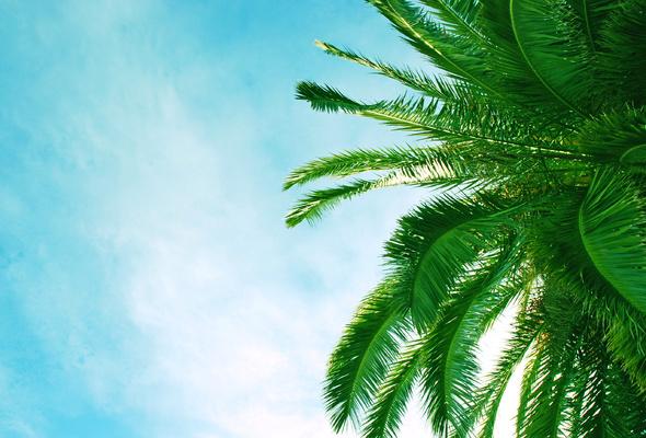 Wallpaper palm leaf sky blue sky desktop wallpaper Nature 590x400