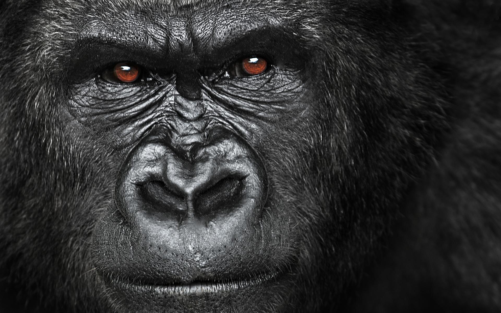 Pics Photos   Gorilla Wallpapers Picture 1920x1200